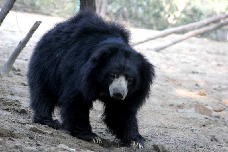 additional sos sloth bear facts