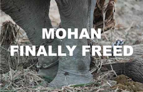 World's Unluckiest Elephant, Mohan, Finally Unshackled!