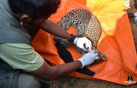 Leopard Cub Rescued From A Water Tank In Karnataka