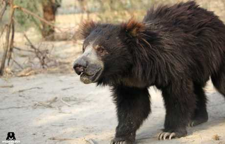 Bear Of The Month: Valmiki