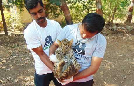 Abandoned Leopard Cub Finds New Home at MLRC