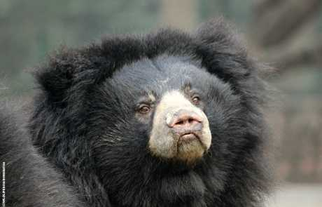 Bear Of The Month: Manali