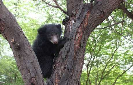Mowgli's New Life At The Agra Bear Rescue Facility