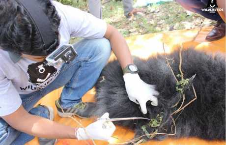 Sloth Bear Cub Rescued From A Barbed Wire In Karnataka