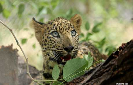 The Heart-Warming Journey Of Neel, The Abandoned Leopard Cub