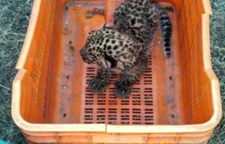 Lost Leopard Cub Reunited With Mother In Shirur, Maharashtra