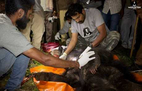 Snare Set Up By Ruthless Poachers Claims Life Of An Endangered Sloth Bear