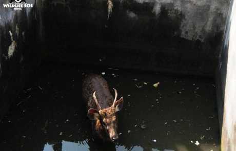 Sambar Deer Rescued From A 12 Foot Deep Water Tank In Junnar