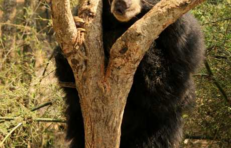 Bear Of The Month: Kasthuri