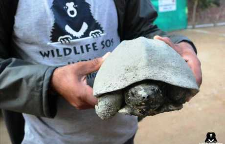 Endangered Turtle Speared By Deadly Fish Hook Rescued From Keetham