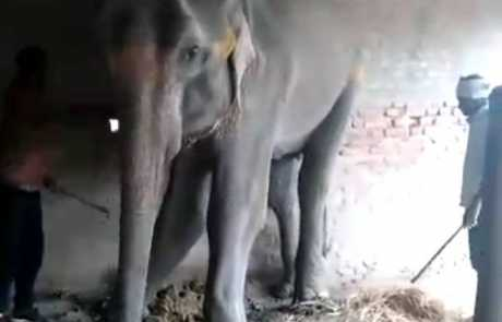 Justice For Laxmi Elephant – Starved, Beaten And Killed In Bihar!