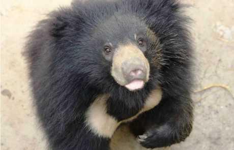 Our Rescued Sloth Bear Cub, Mowgli Turns One!