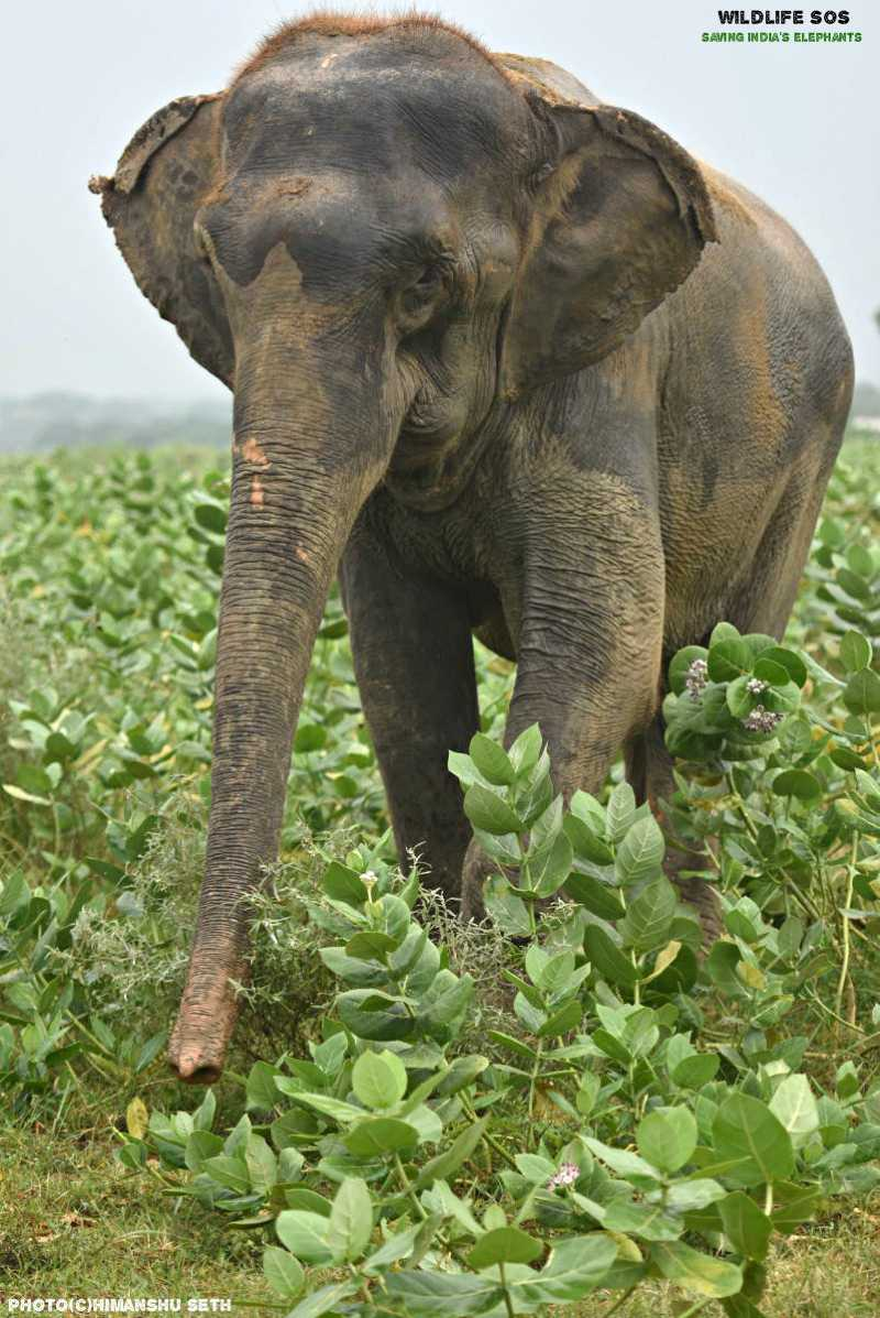 Female ♀ Asian elephant (Elephas maximus)  Lakhi at Mathura Elephant Care Centre (Wildlife SOS India)