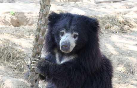 Bear Of The Month: Sarasu