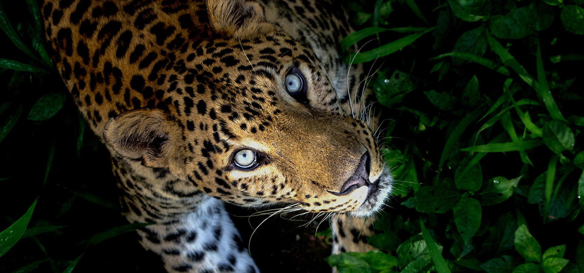 Leopards Wildlife Sos