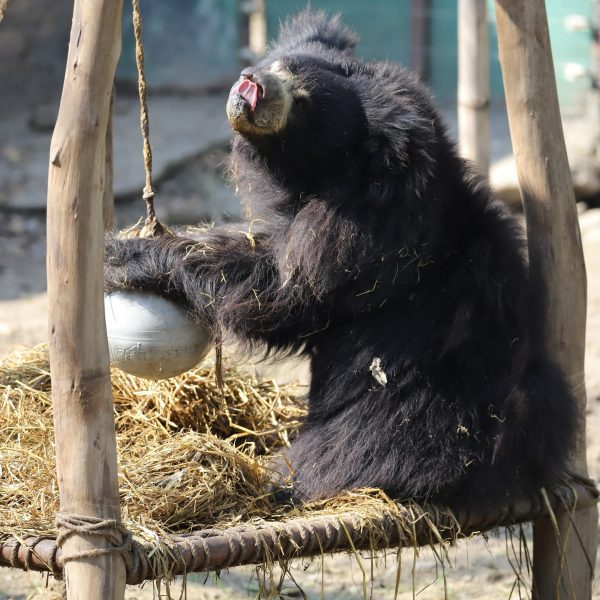 Wild Sloth bear trapped in deadly snare, rescued by team Wildlife SOS
