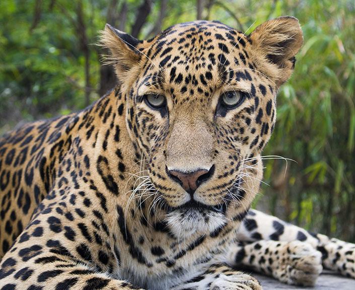 Leopard Conservation Project
