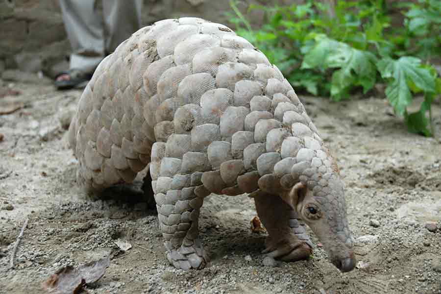 Help stop the illegal trafficking of Pangolins!