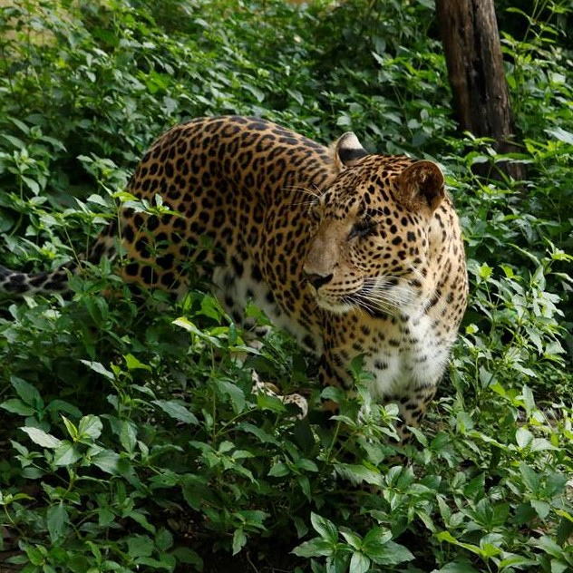 Leopard Fun Facts I