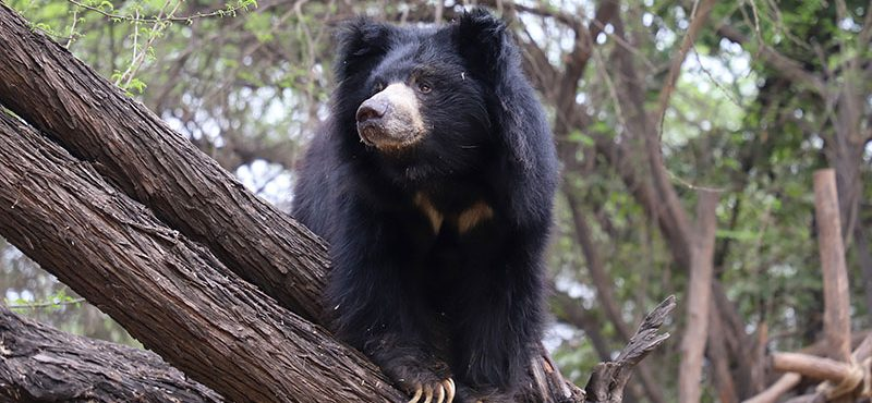 Reproductive Endocrinology and Behaviour of Sloth Bears