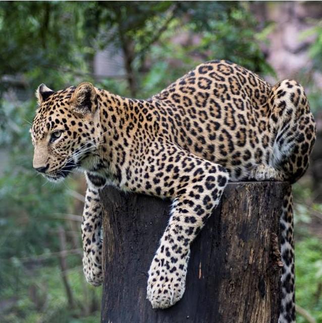 Jiya the Leopard