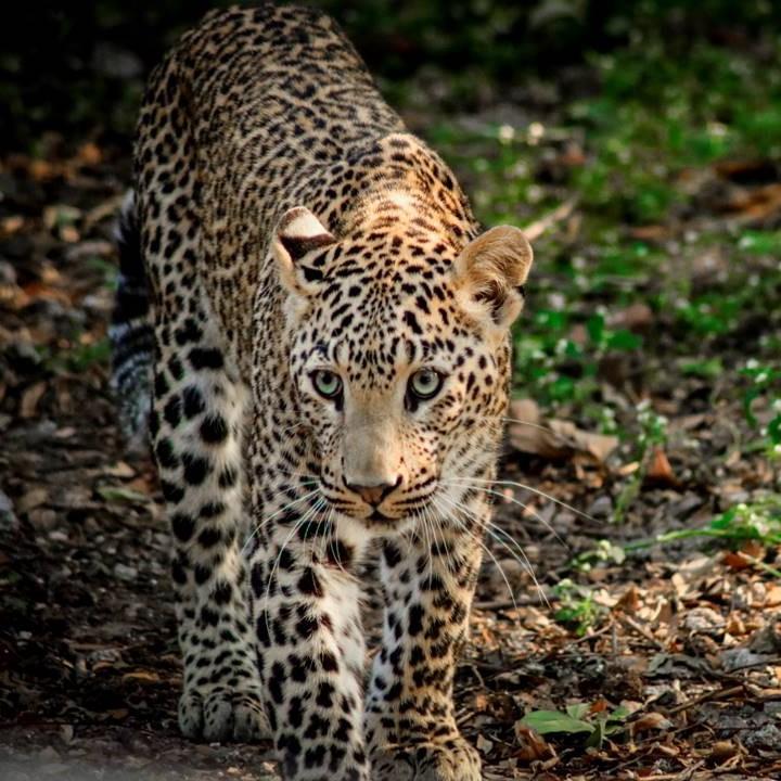 Heartfelt Reunion of Leopard cub and mama! on World Wildlife Day!