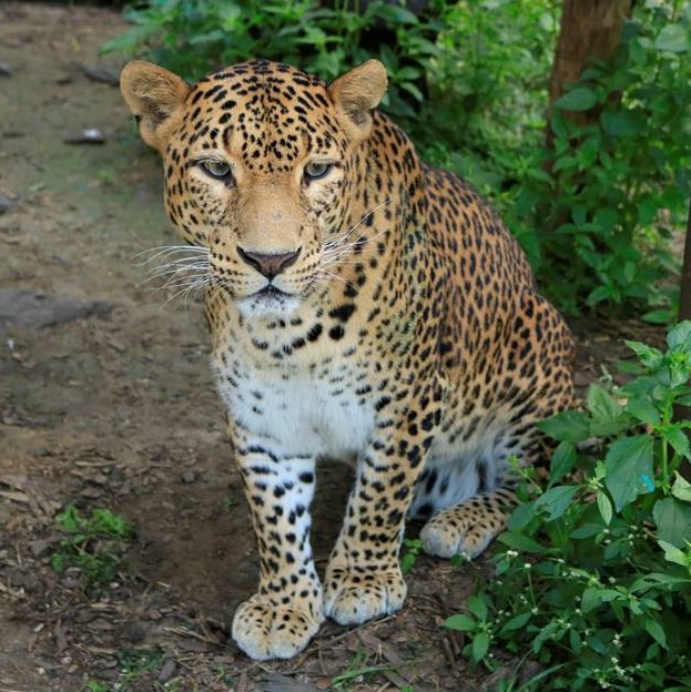 Leopard Fun Facts II