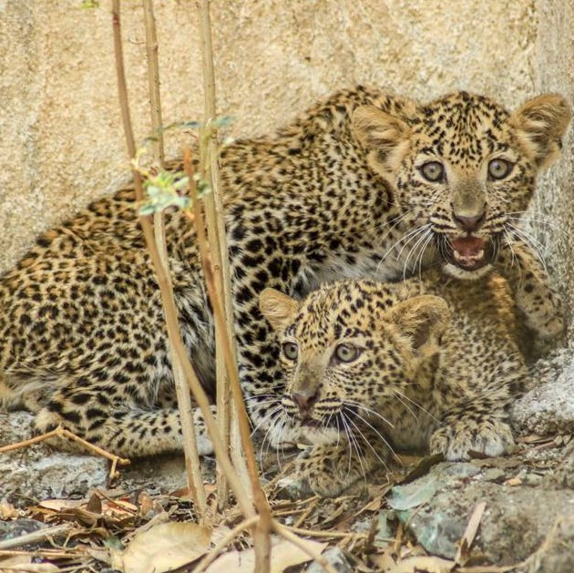 Reunion of lost Leopard cub and mama in Maharashtra!