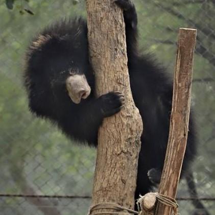 Wild Sloth Bear Mama & Cubs Caught on Camera!