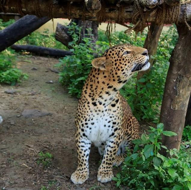 Leopard Fun Facts III