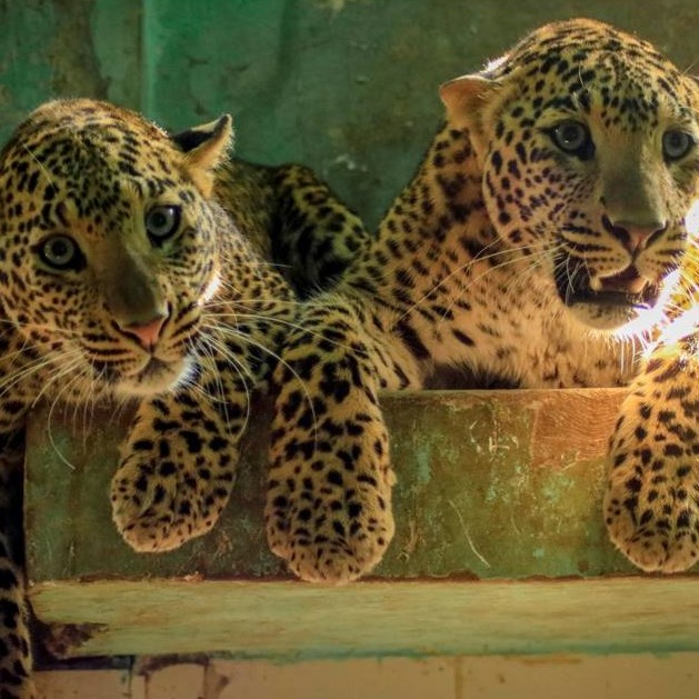 Leopard breaks into a house in Maharashtra