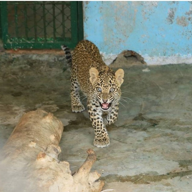 Leopard rescued from 30-ft deep well!
