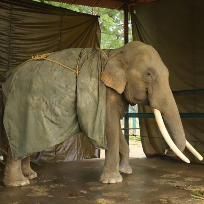Suraj, Our One-Eared Elephant Enjoys His Dust Bath