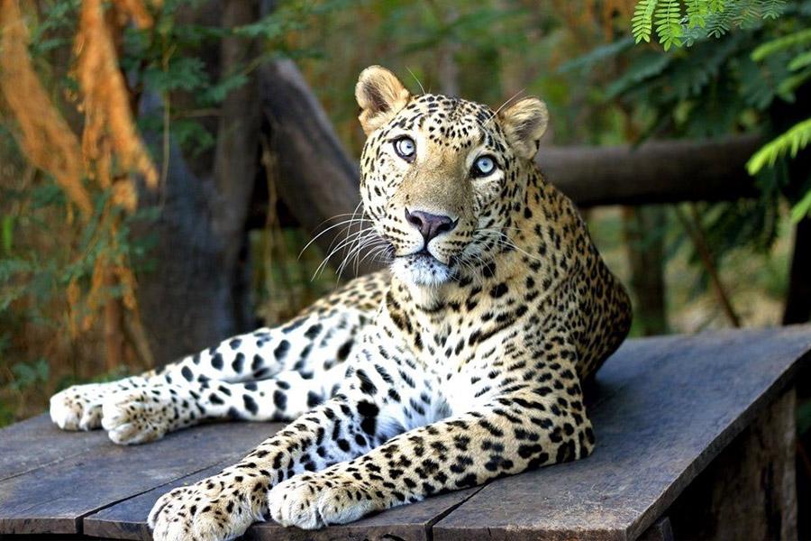 Manikdoh Leopard Rescue Centre