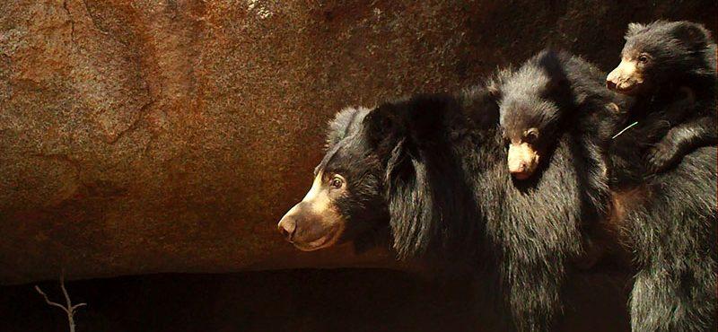 Sloth Bear Denning Project