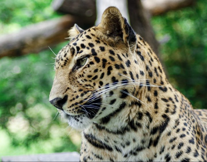 THREATS TO LEOPARDS IN INDIA