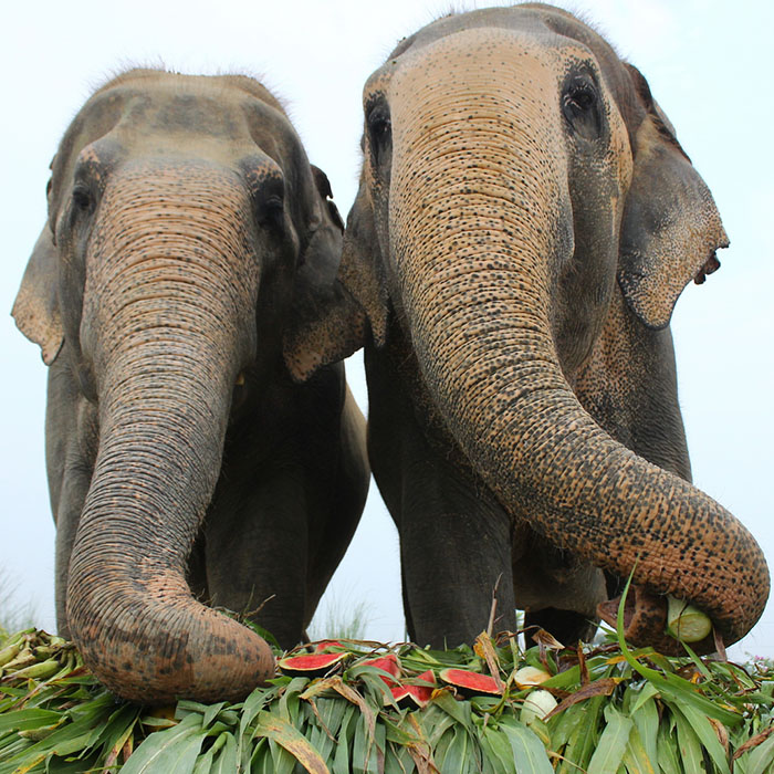 An Elephantine Feast for Jumbos!