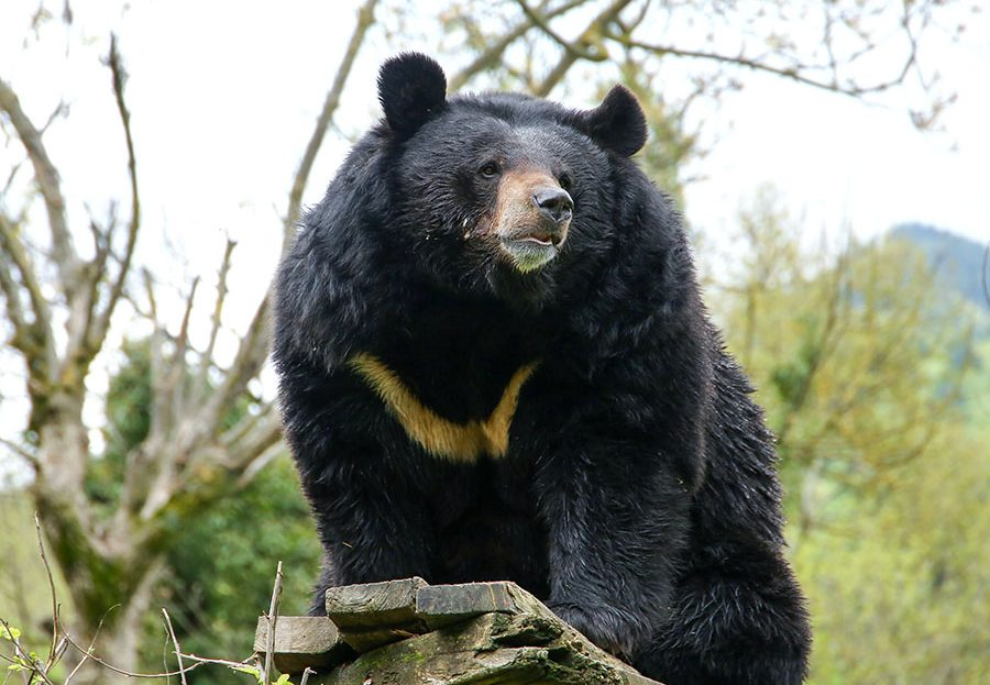 Asiatic Black Bear General Characteristics
