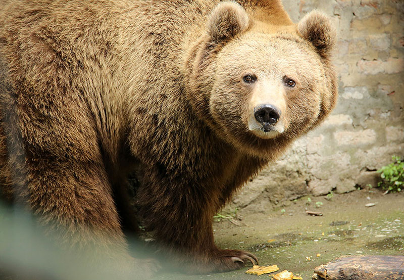 Himalayan Brown Bear General Characteristics
