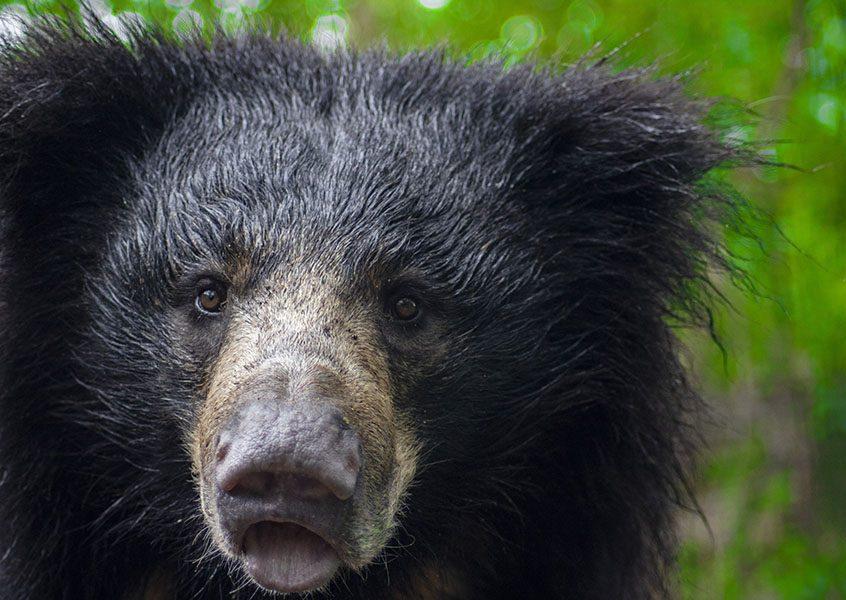 Sloth Bear General Characteristics