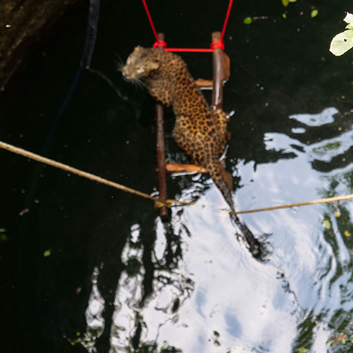 Pregnant Leopard Saved from Drowning in a Well by Wildlife SOS!
