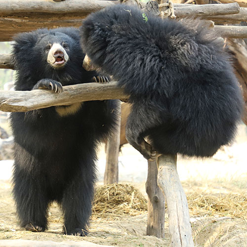 Sloth Bears Enjoy Easter At ABRF!