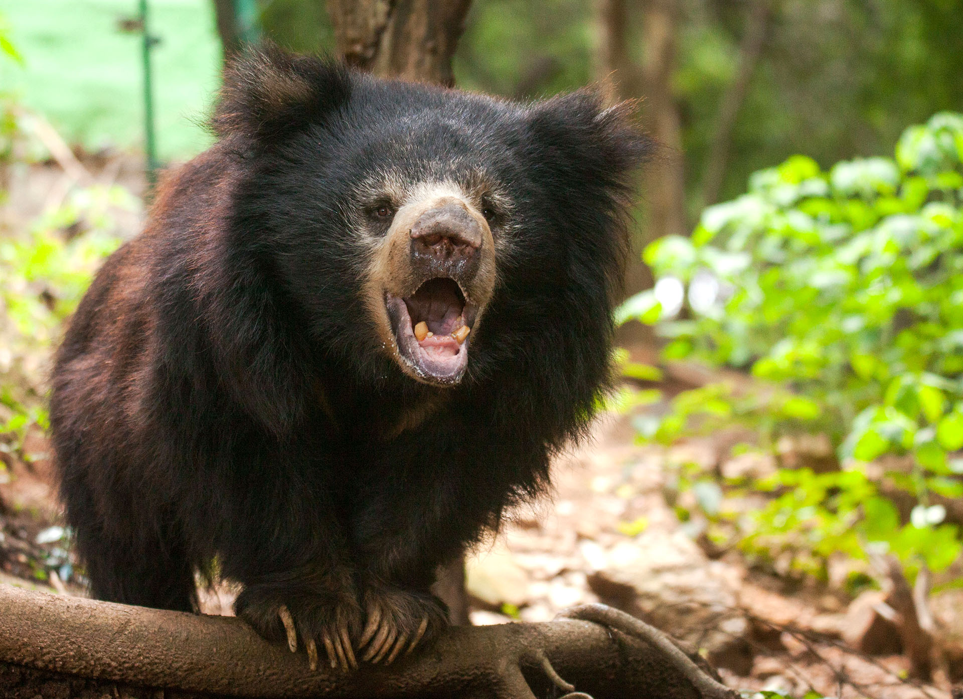 The Life Of Sloth Bears In India