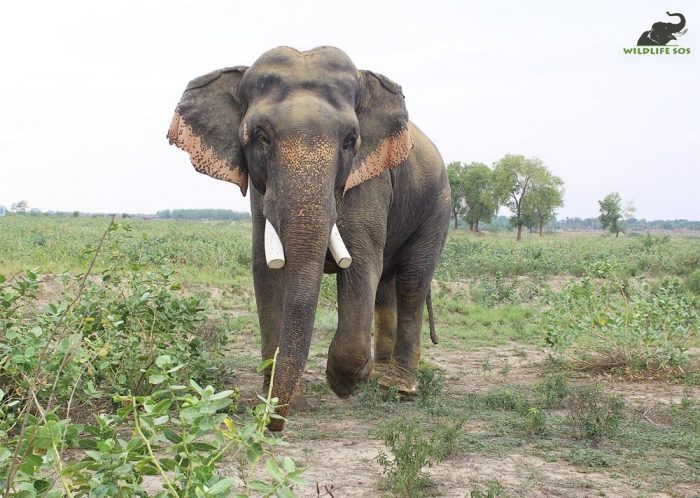 Sanjay is one of the biggest tuskers under our care.
