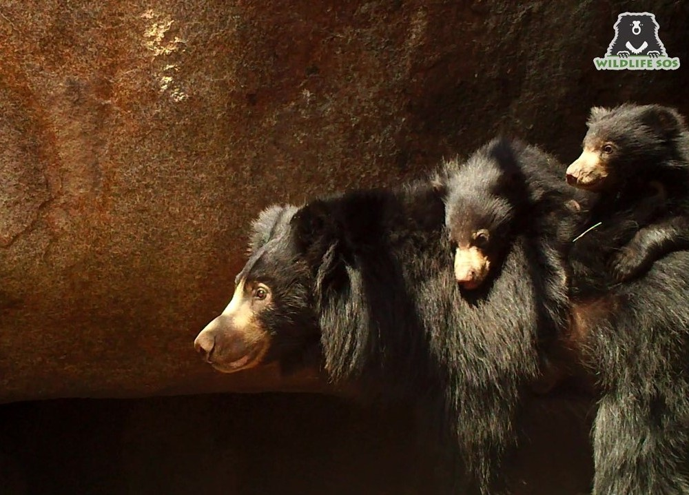 A camera trap image of a mother sloth bear with her cubs from our Sloth Bear Denning Project