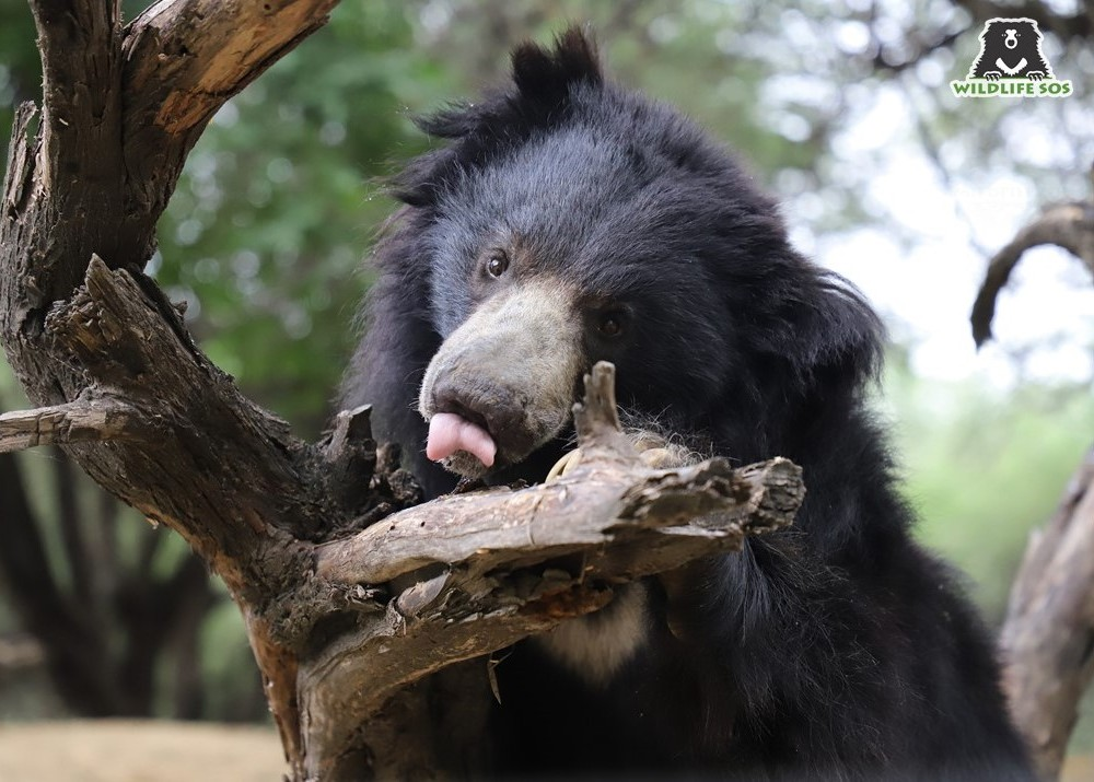 """A """"V""""shaped white patch that becomes the easiest way to identify sloth bears"""