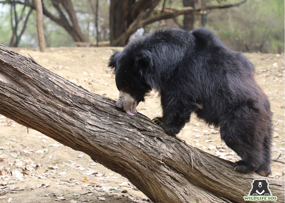 A rescued sloth bear at the Agra Bear Rescue Facility enjoying honey pasted on the wooden log