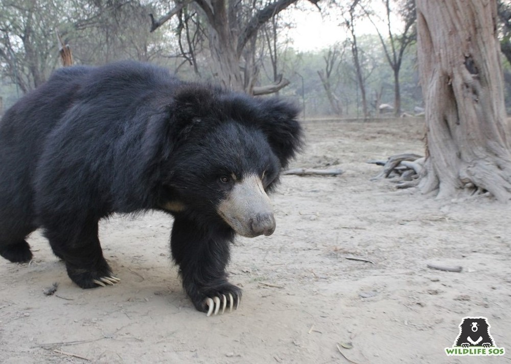 The footprints of a sloth bear tend to resemble that of a human