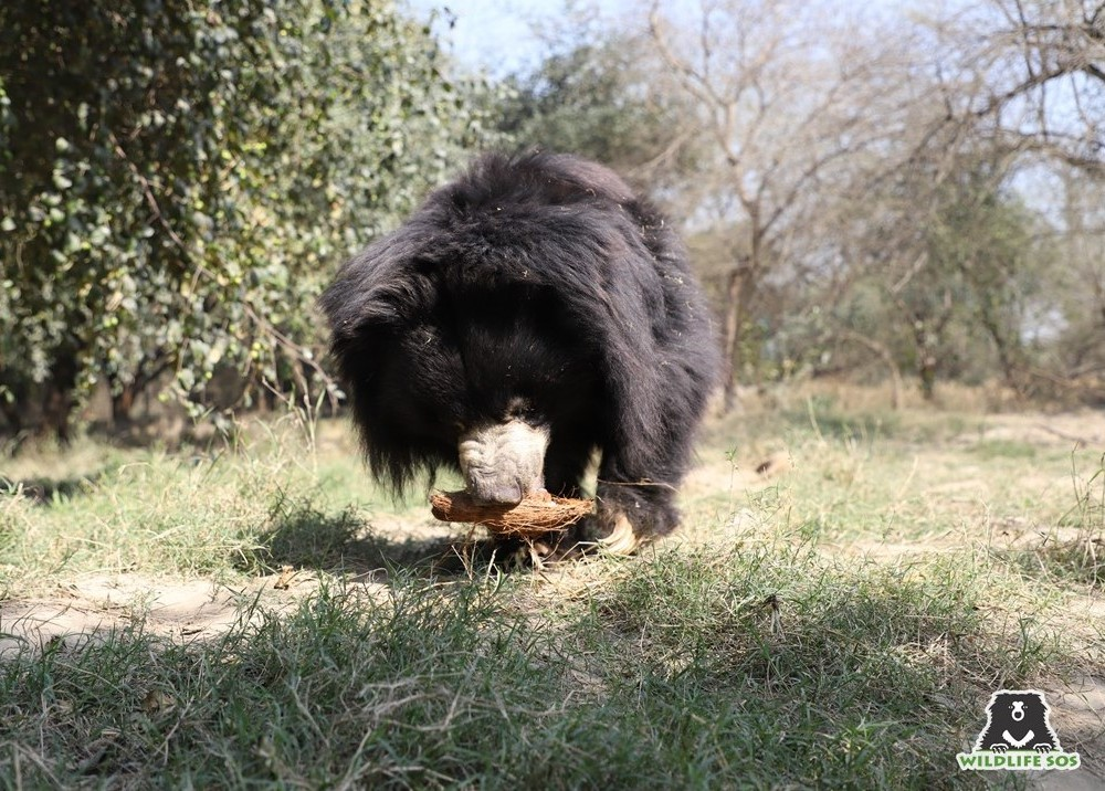 Sloth bears use their long, curved claws for penetrating rock-hard insect mounds
