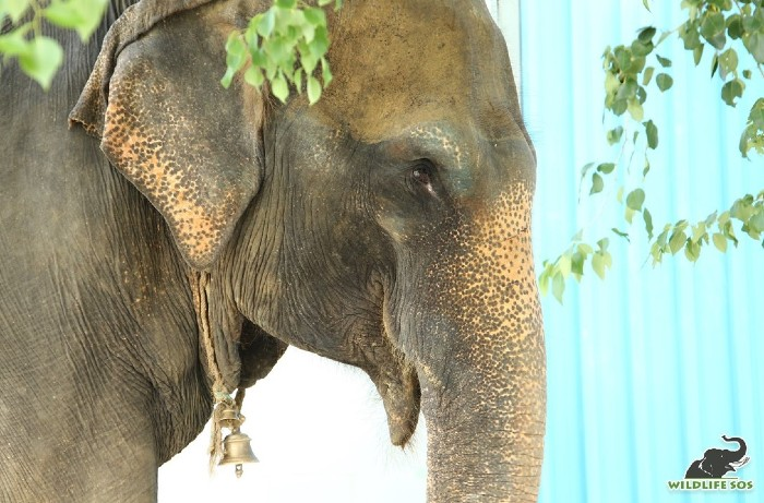 Arya is completely blind and uses her trunk to navigate through her surroundings.